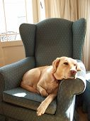 Labrador On Chair Thinking 2