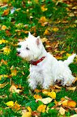 stock photo of westie  - Beautiful westie portrait in autumn park in vivid colors - JPG