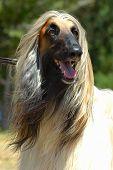 Afghan Hound Dog Head Portrait