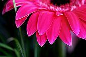 Vibrant Pink Daisy