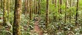 Forest panorama ~ a track winds through a temperate rainforest.  Yarra Ranges, Victoria, Australia.
