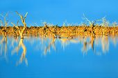 Trees submerged in man-made lake, in glorious sunset light.  Menindee, outback New South Wales, Aust