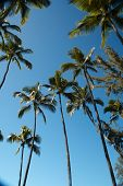 Palm Trees At Coconut Island