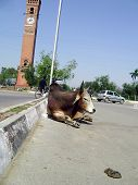 stock photo of castration  - uncastrated bull sitting in the middle of a road near the landmark ghantaghar or clocktower of lucknow india