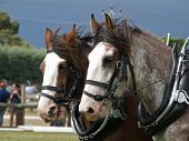 picture of clydesdale  - Two Clydsedales harnessed for the sled pulling competition - JPG