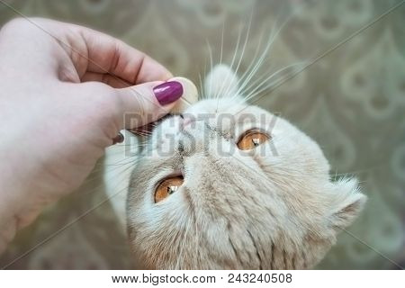 poster of Scottish Fold Cat With Gold Eyes Takes A Pill Close Up. A Female Hand Gives A Cat A Round Big Pill.