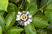 White With Purple Flower Passiflora Edulis. Passion Flowers Or Passion Vines, Top View poster