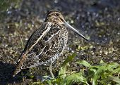 stock photo of snipe  - A Common snipe perched on the ground - JPG
