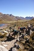 pic of workhorses  - Mule train carrying loads in a broad valley of the Cordillera HuayhuashAndes Peru South America - JPG