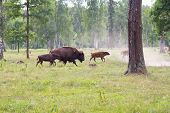 foto of aurochs  - Aurochs in the wild outdoors - JPG
