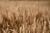 Harvest Season, Harvesting Crops. Field Of Golden Wheat, Ripe, Harvest. Wheat Spikelets, Cereal Grai poster