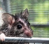 The Sad Face Of A Wet Gray Field Mouse Peering Over The Metal Bar Of His Cage. His Fur Is Disheveled poster