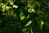 Spring Branch. Beautiful Branches With Leaves Of A Tree. Shadow On Branches. poster