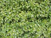 Foliage Background, Green Fence, Foliage Hedge, Green And Off White Leaves, Variegated Two-color Lea poster