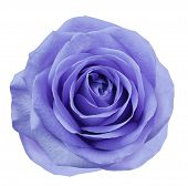 Purple Flower Rose  On White Isolated Background With Clipping Path.  No Shadows. Closeup.  For Desi poster