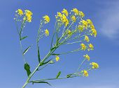 image of cruciferous  - Crucifer yellow flowers against the background of blue sky - JPG