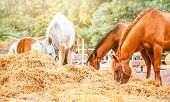 Horses Eating A Hay At Ranch Summertime. Brown, Piebald And Gray Mares And Foals Feeding A Forage, A poster