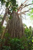 curtain fig tree in Atherton Tablelands Queensland Australia, huge old tropical rainforest tree with sun shining through canopy