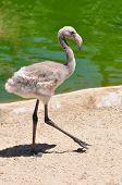 Juvenille Flamingo