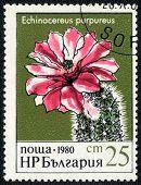 Cactus Echinocereus Purpureus