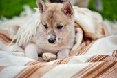 Portrait Of Cute Siberian Laika On The Blanket poster