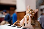 Abyssinian Cat Plays With Toy Long Ears And Short Hair poster
