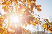 Sun Rays Through Autumn Oak Tree Leaves Against Clear Sky. Autumn Branch Of Oak With Golden Leaves.  poster