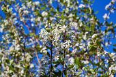Branches Of A Cherry Tree With Blossoming White Flowers. On A Blurred Background Other Tree Branches poster