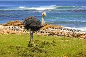 Front View Of Ostrich Walking In Wild Coast At The Cape Of Good Hope In Table Mountain National Park poster