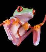 Frog Hanging From Vine