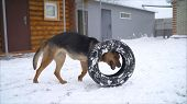 Black Shaggy Dog Frolic On White Snow In Winter On The Street. Shepherd Dog Plays With A Tire On The poster