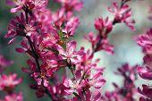 Blume der wilden Mandel hautnah
