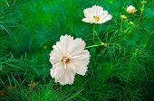 Decorative White Garden Flower Cosmos, Cosmos Bipinnatus, Cosmea Bipinnata, Bidens Formosa Mexican A poster
