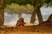 Chacma Baboon - Papio Ursinus Griseipes  Or Cape Baboon, Old World Monkey Family,one Of The Largest poster
