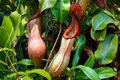 Plant Predator Nepenthes Miranda In Natural Conditions poster