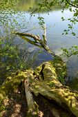 Fallen Dead Moss Covered Tree Trunk In Clear Water Of A Lake In Bavaria, Tree Trunk In Water With Li poster