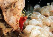 Ambon Cleaner Shrimp (aka Dwarf Cleaner Shrimp, Lysmatella Prima). Anilao, Philippines poster