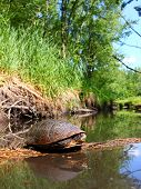 stock photo of winnebago  - Blandings Turtle (Emydoidea blandingii) basking on a log in a pristine stream of northern Illinois.