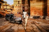 Tilt shift lens - Cow on street in India. Constitution of India mandates the protection of cows. Raj poster