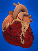 stock photo of coronary arteries  - 3d rendered anatomy illustration of a human heart - JPG