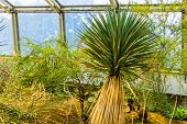 Closeup Of A Yucca Tree In A Tropical Garden, Exotic Evergreen Plant Specie From America poster