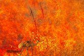 Australian Wildlife In Bushfires Of Australia. Emu With Fire On The Background. The 2020 Devastating poster