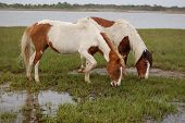 A Pair Of Wild, Painted Horses, Feeding On The Saltwater Cord-grass Growing In The Marsh, On Assatea poster
