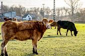 Cow Red Amid Countryside. Cows On A Sunny Day On A Farm . Cattle Of Young Cows At The Meadow . Herd  poster