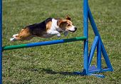 image of bitch  - Beagle bitch exercising in an agility competition - JPG