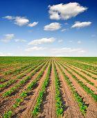 campo recién sembrado de girasol