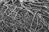Tree roots Black and white.