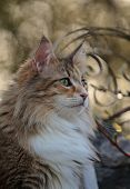 A Portrait Of A Norwegian Forest Cat In A Garden In Spring poster