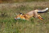 The Red Fox (vulpes Vulpes) Looks For Food In A Meadow. Young Red Fox Running On Green Field.young F poster
