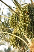 Green dates clusters